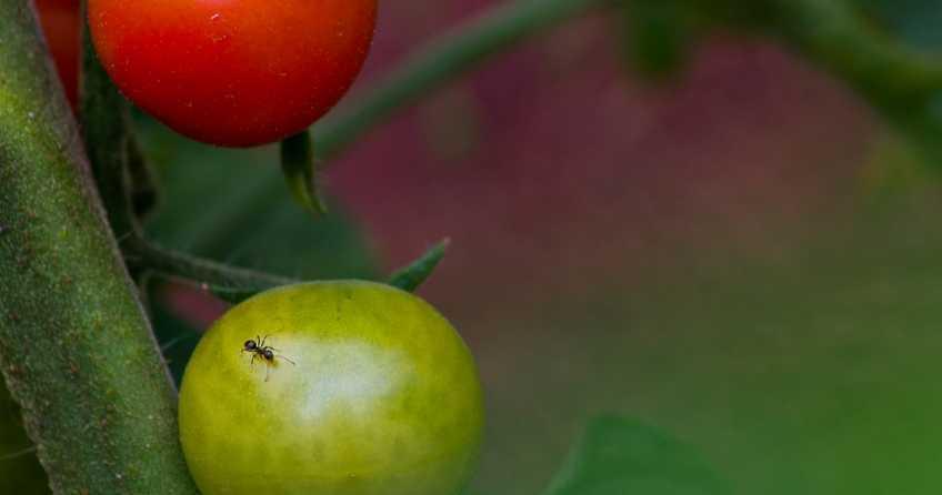 Ameisen im Gewächshaus können eigene ganz schöne Plage sein. In diesem Beitrag zeigen wir 10 Tricks, um Ameisen im Gewächshaus zu bekämpfen.
