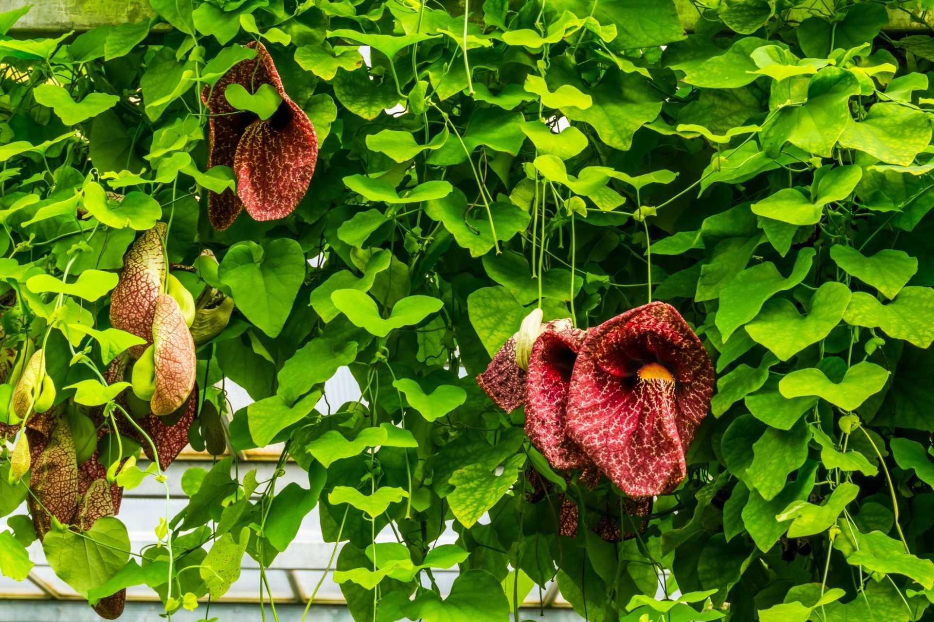16 Kletterpflanzen für halbschattige Standorte