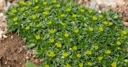 Andenpolster sich Bodendecker, die schnell wachsen und äußerst anspruchslos sind.