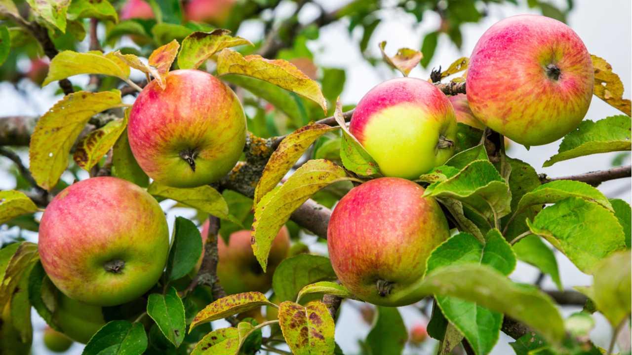 Apfelbaum zurückschneiden – So gelingt es Ihnen