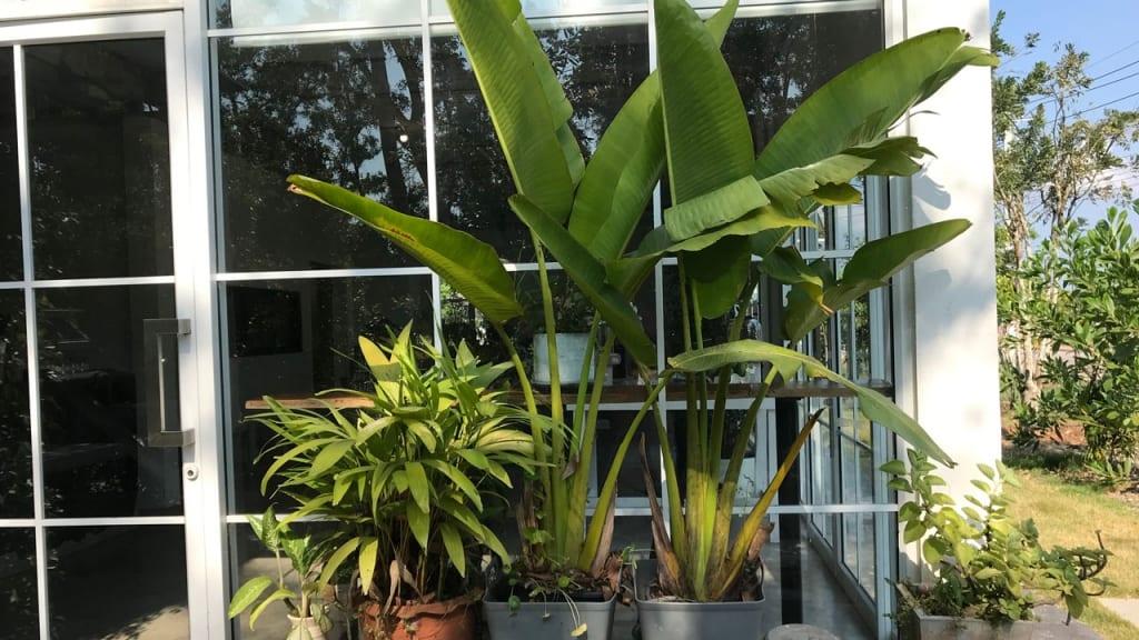 Wer nach Tropen-Feeling sucht, ist mit Bananen- oder Ananas-Pflanzen gut bedient. Natürlich vertragen diese Tropenpflanzen auch viel Sonne.
