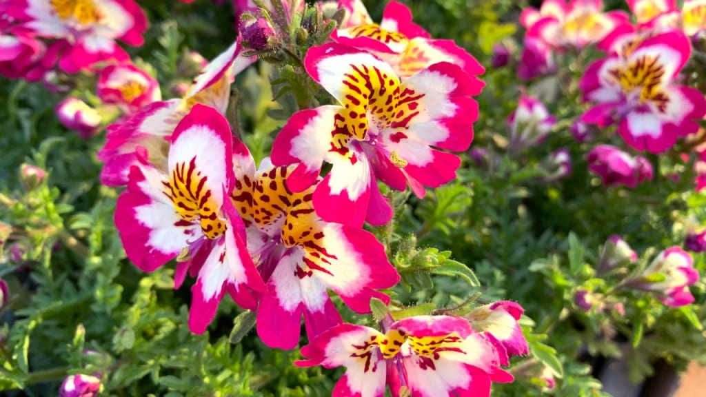 Die Bauernorchidee bevorzugt die Sonne und kommt auch eine gewisse Zeit mit wenig Wasser aus. Sie ist eine der Pflanzen, die viel Sonne vertragen und wenig Wasser brauchen.