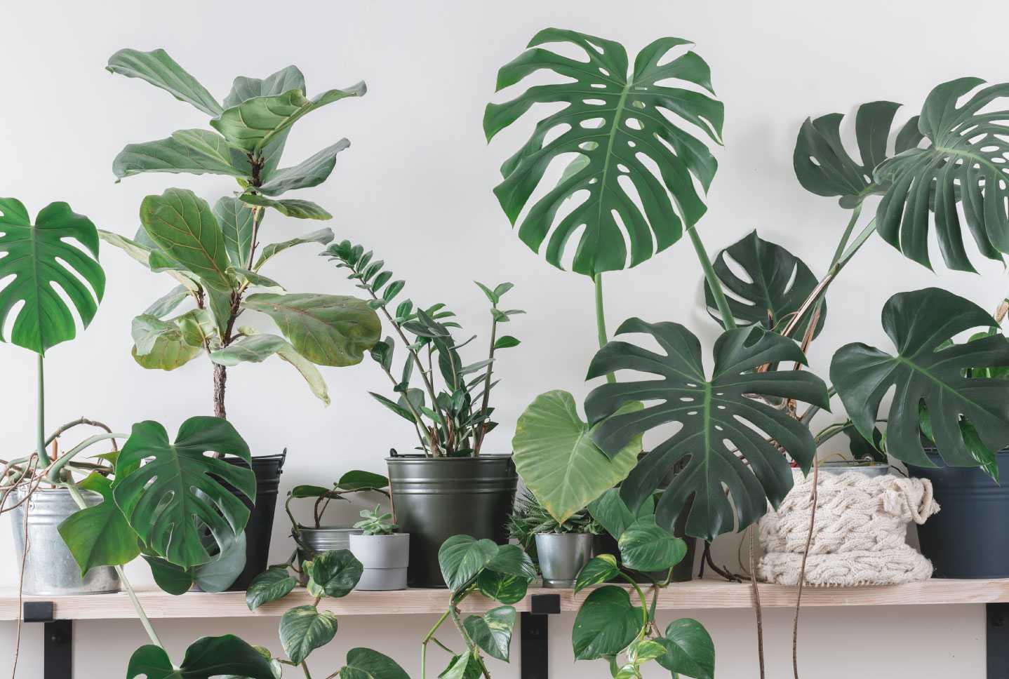 Top 10 große und robuste Zimmerpflanzen