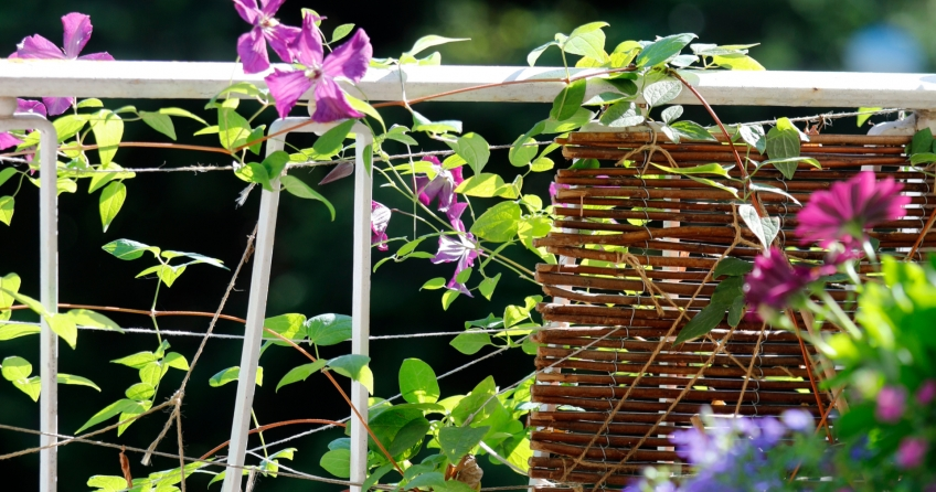 Clematis als Kletterpflanze: Bienenfreundlich und passt auf jeden Balkon!