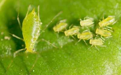 Blattläuse im Gewächshaus – Das können Sie tun