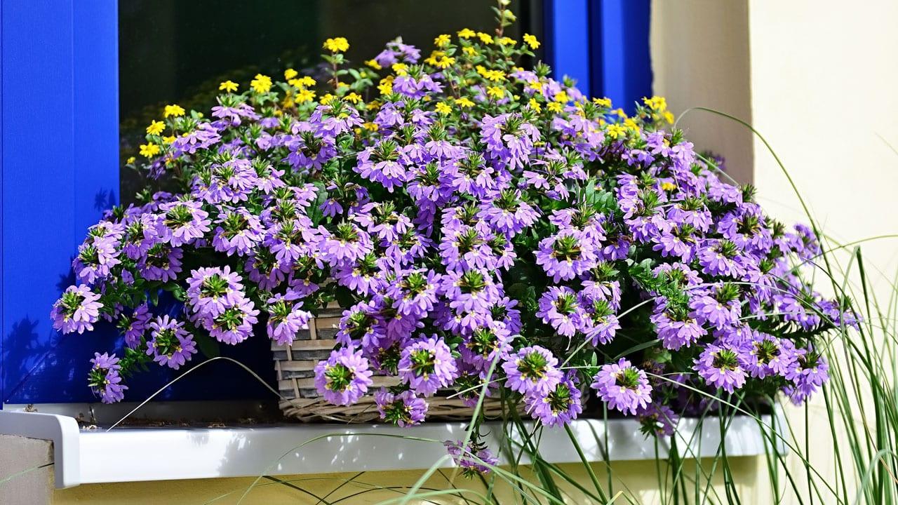 Blaue Facherblume So Pflegen Sie Die Balkonpflanze Haus