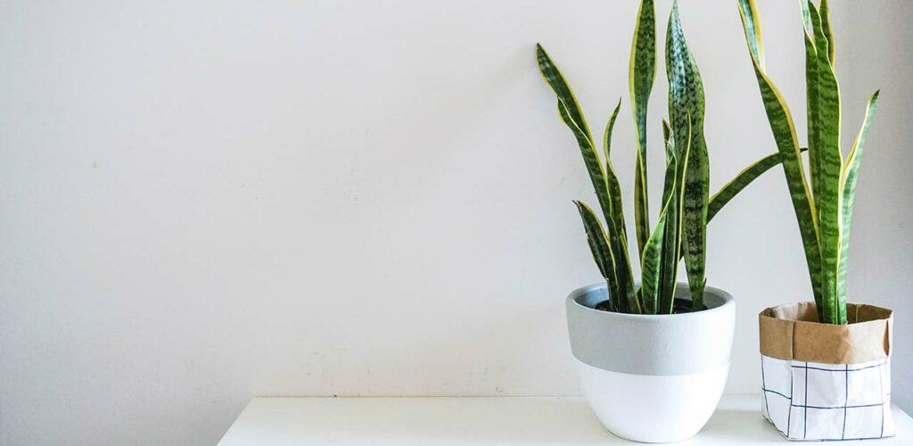 Auch bei wenig Licht ist die Zimmerpflanze Bogenhanf fast unkaputtbar.