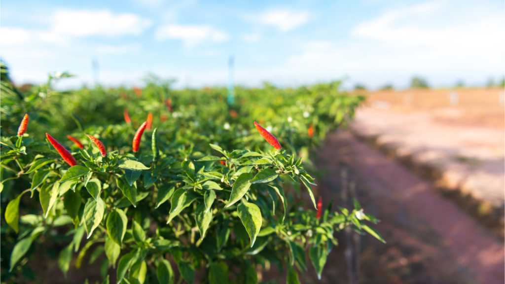 Nach der Trocknung der Samen müssen diese zwei Jahre lang an einem dunklen luftdichten Ort gelagert werden. So ist eine gute Chili-Pflanzen Pfllege garantiert.