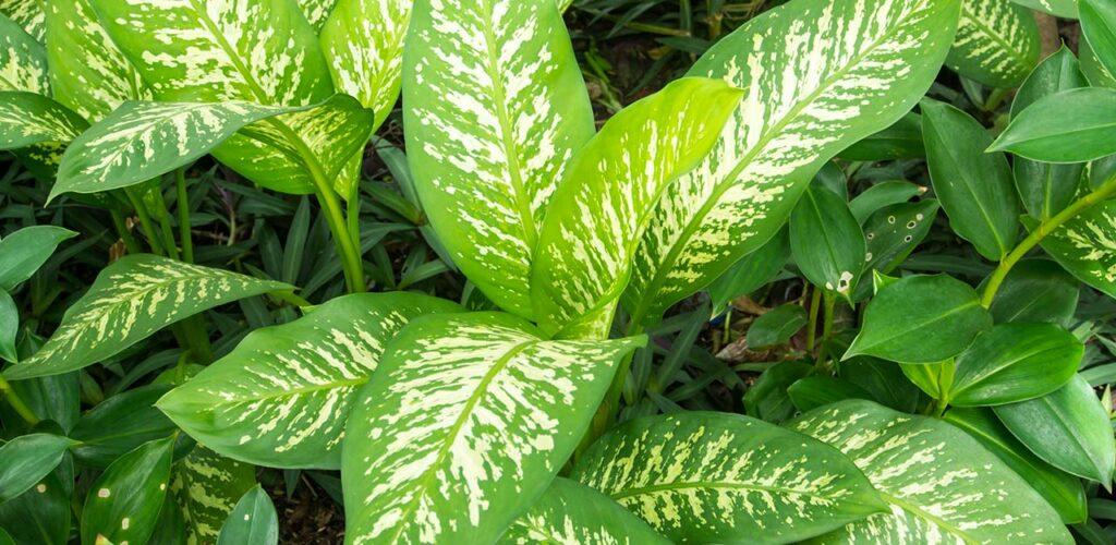 Die schöne Zeichnung der Blätter macht Dieffenbachia zu einer attraktiven Zimmerpflanze für wenig Licht