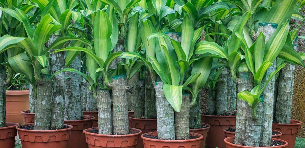 Dicker Stamm, schöne Blätter: Der duftende Drachenbaum ist ein Klassiker unter den Zimmerpflanzen für wenig Licht
