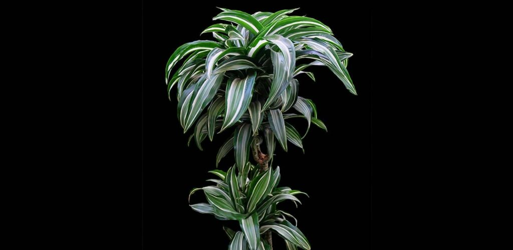 Drachenbaum Janet Craig überlebt auch bei schlechten Lichtverhältnissen im Zimmer