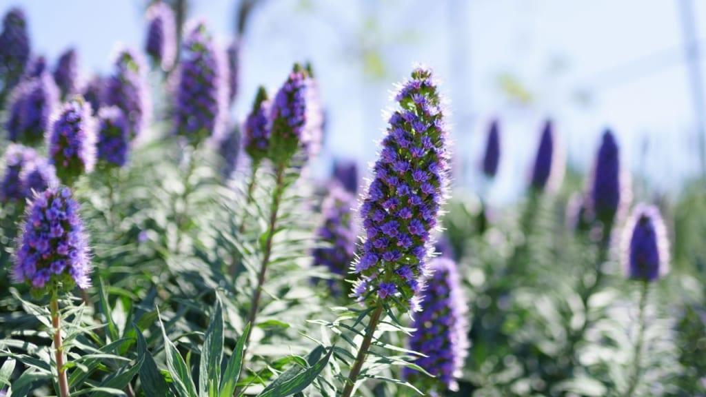 Echium vulgare gedeiht auch in unseren Breiten. Die nektarreichen Blüten tragen viel zum Umweltschutz bei, weil sie viele Insekten und Bienen anlocken.