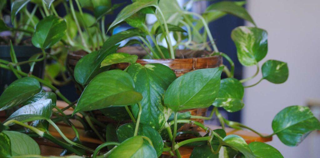 Die Efeutute eignet sich als Hänge- oder Zimmerpflanze