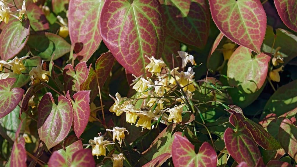 Die Elfenblume kann bis zu 30cm Höhe erreichen, was für einen Bodendecker mehr als normal ist.