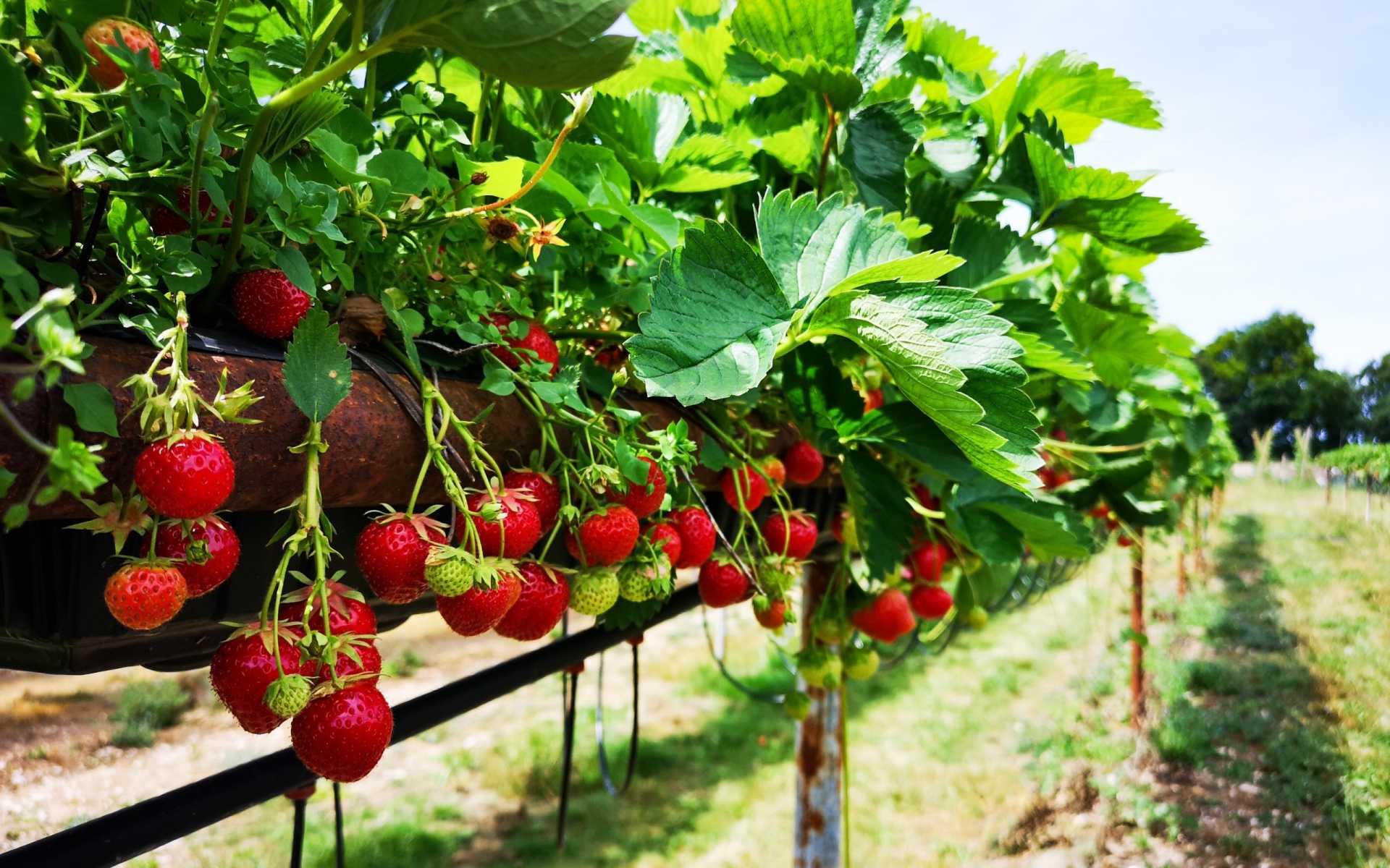 14 leckere Beerensorten, die im eigenen Garten nicht fehlen dürfen