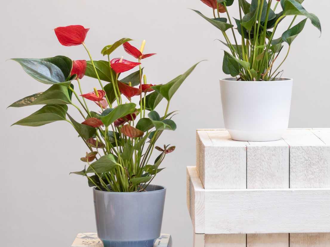 10 wunderschöne blühende Zimmerpflanzen für Ihr Zuhause
