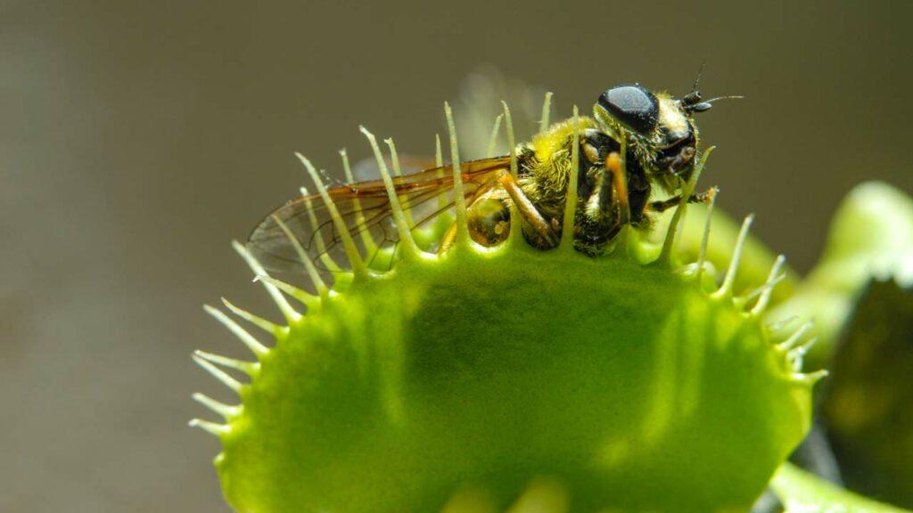 Fleischfressende Pflanze gegen Fliegen