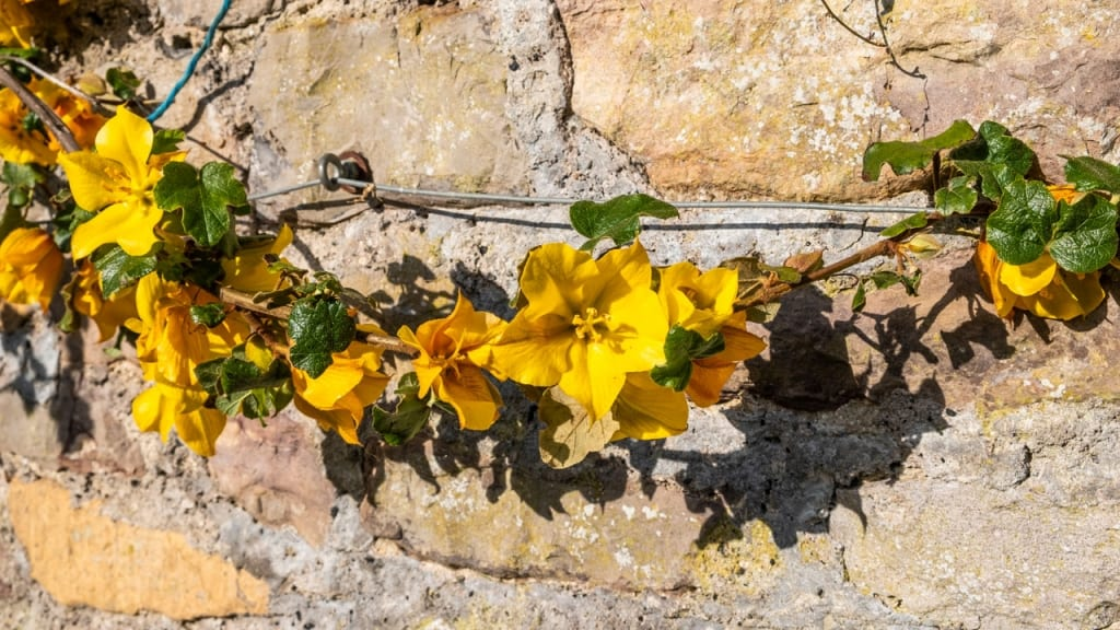 FreFremontodendron stammt aus Kalifornien und Mexiko und umfasst vier bis sechs Arten. Der üppig blühende Stauch ist für einen Standort in direkter Sonne geeignet.