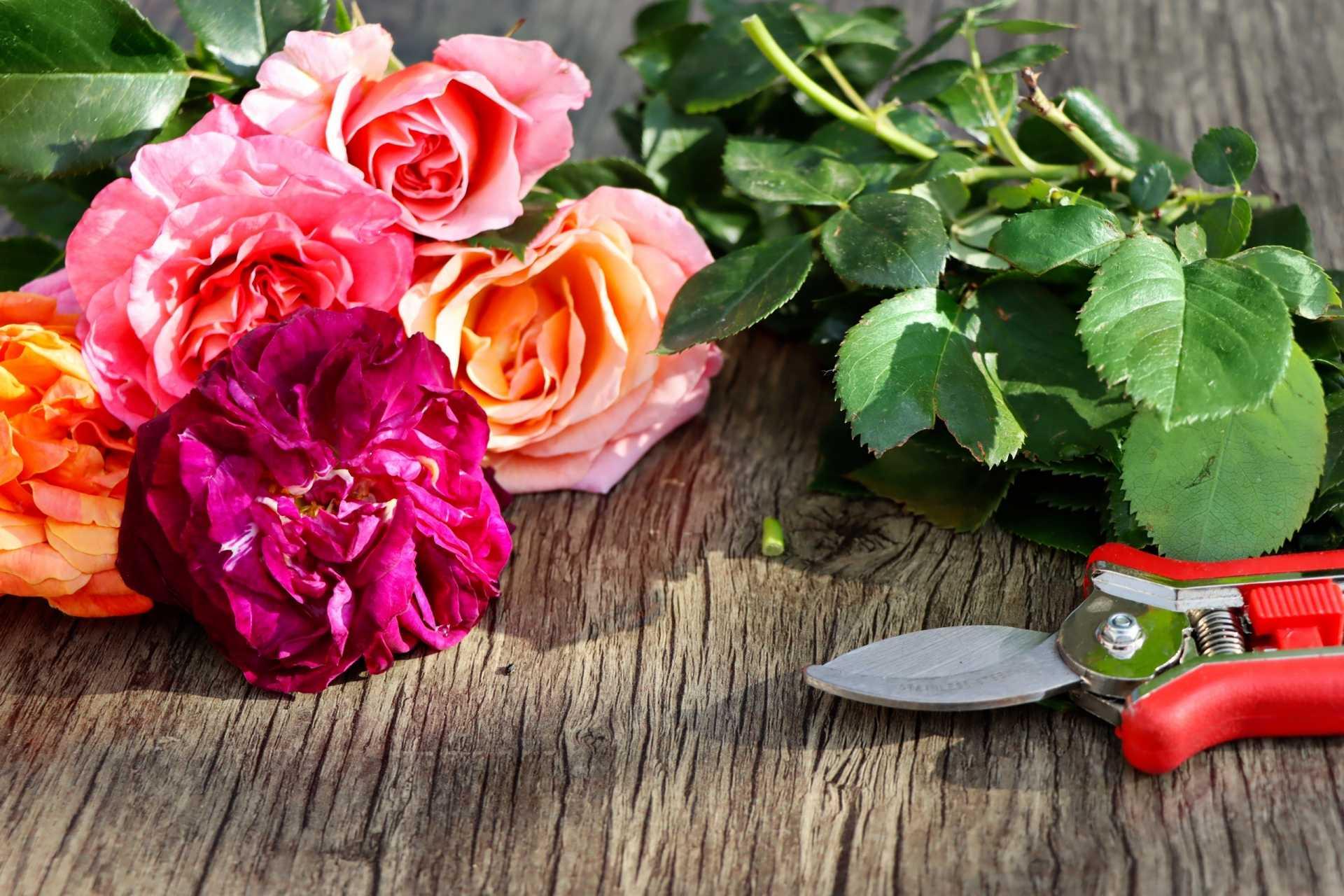 7 häufige Fehler beim Rosenschnitt, die Rosen beschädigen