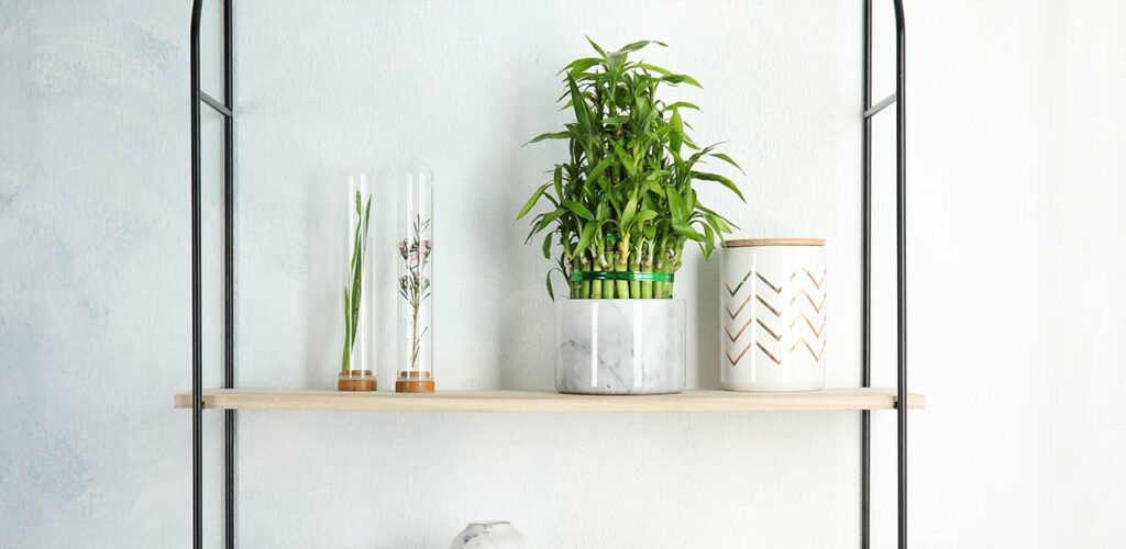 Der Glücksbambus ist eine Zimmerpflanze für wenig Licht