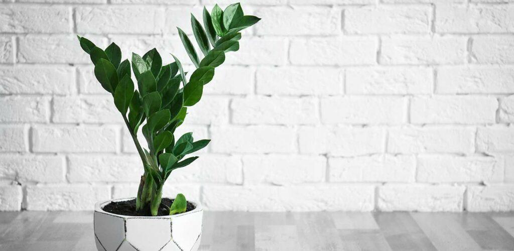 Glücksfeder ist eine Zimmerpflanze, die nur wenig Licht benötigt.