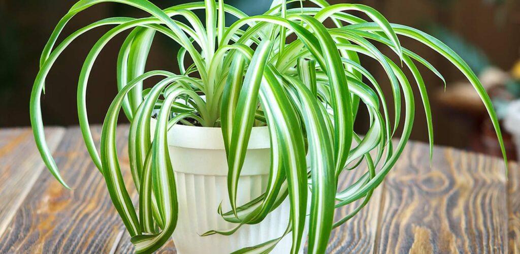 Die Grünlilie ist ein echter Klassiker unter den Zimmerpflanzen für wenig Licht