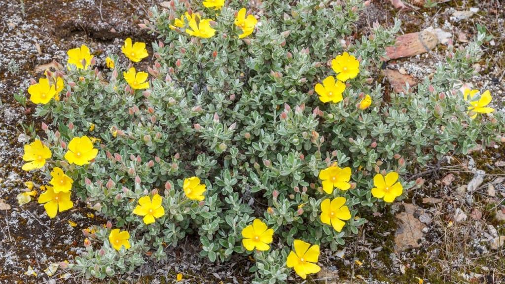 Halimium eignet sich für einen sonnigen und warmen Standort und ist unempfindlich gegen Kälte. Sie ist eine der Pflanzen, die viel Sonne vertragen und wenig Wasser brauchen.