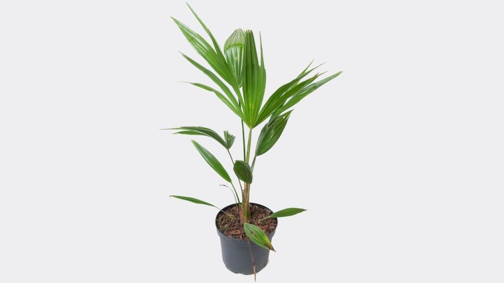 Die Hanfpalme ist eine wunderschöne Palme, die viel Sonne verträgt und gleichzeitig mit etwas weniger Wasser auskommt.