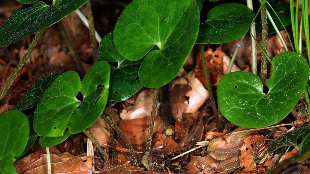 Haselwurz: Diese ausdauernde, krautige Waldstaude zeigt sich wintergrün, bildet über den Boden kriechende Stängel aus.
