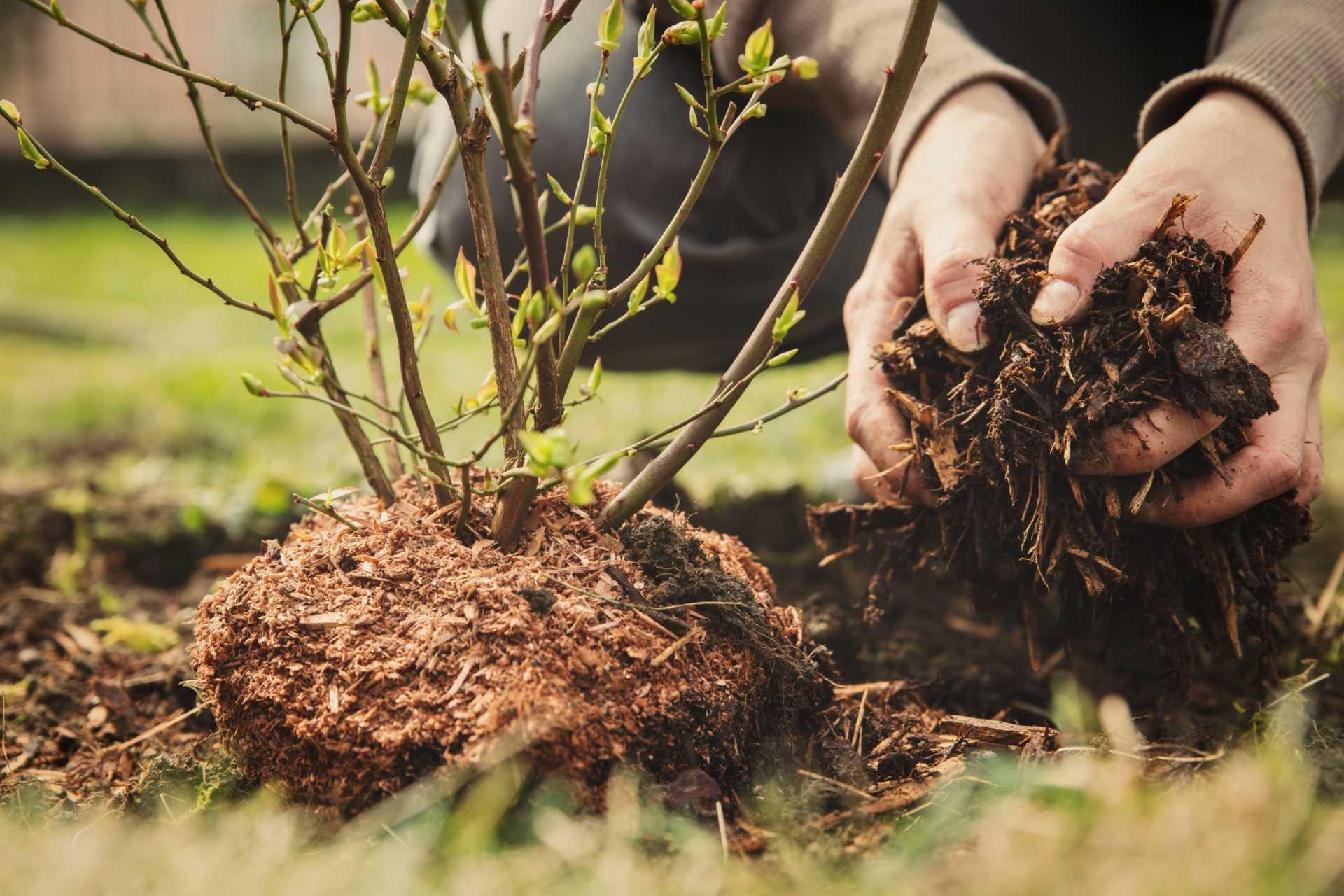 Heckenpflanzen einpflanzen: Schritt für Schritt einpflanzen