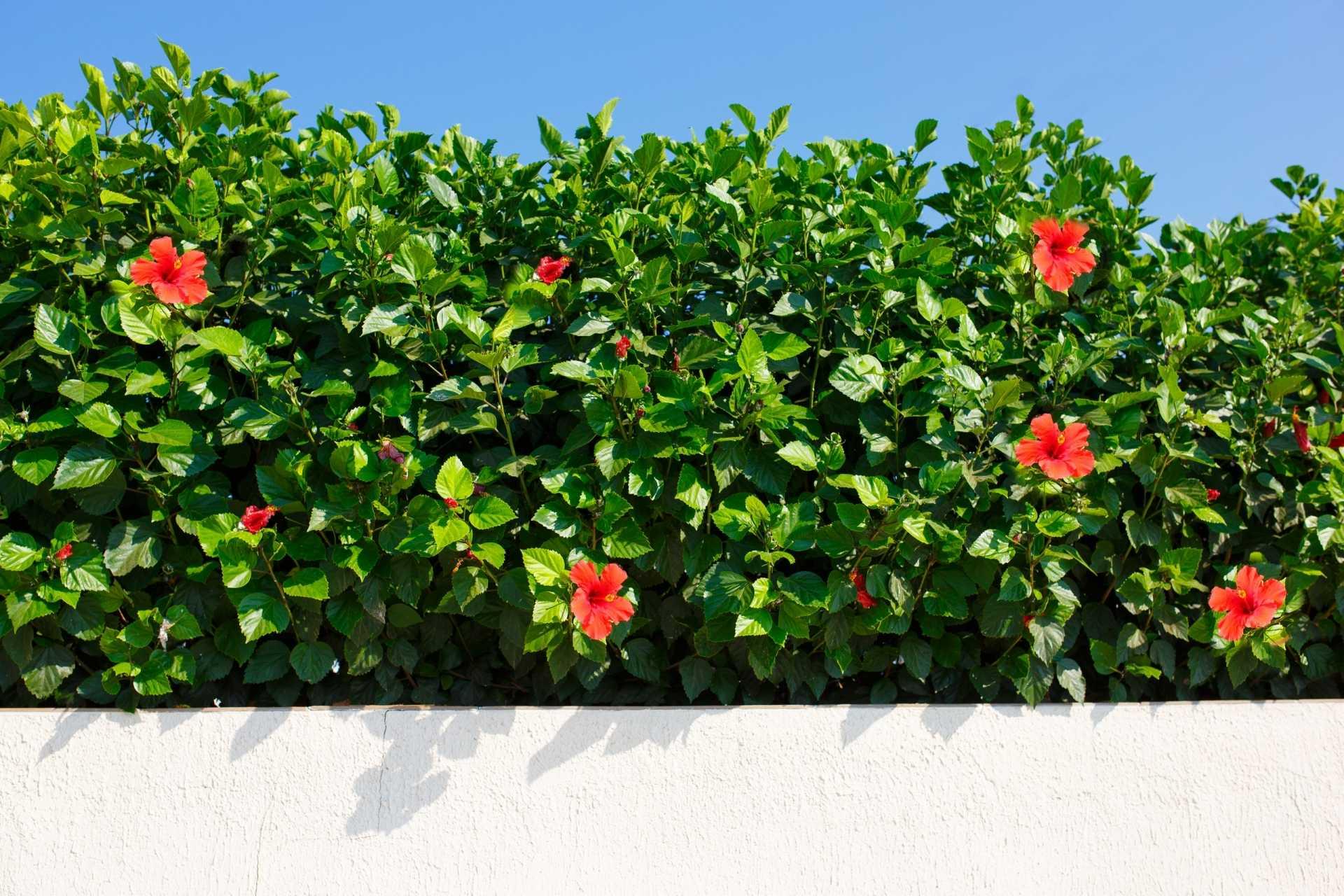 Blühende Hibiskus Heckenpflanzen für schöne Gartenträume