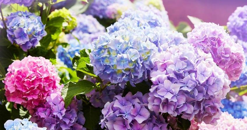 Hortensien richtig pflanzen, pflegen und vermehren führt zu wunderschönen farbigen Blüten