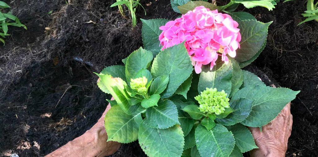 Hortensien richtig pflanzen