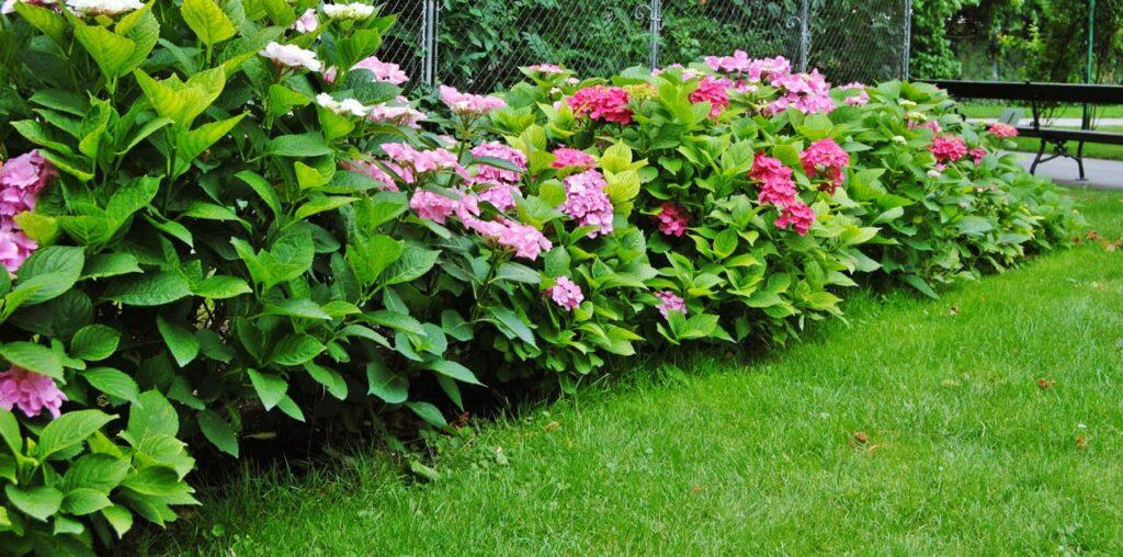 Hortensien vermehren mit Stecklingen oder Absenkern