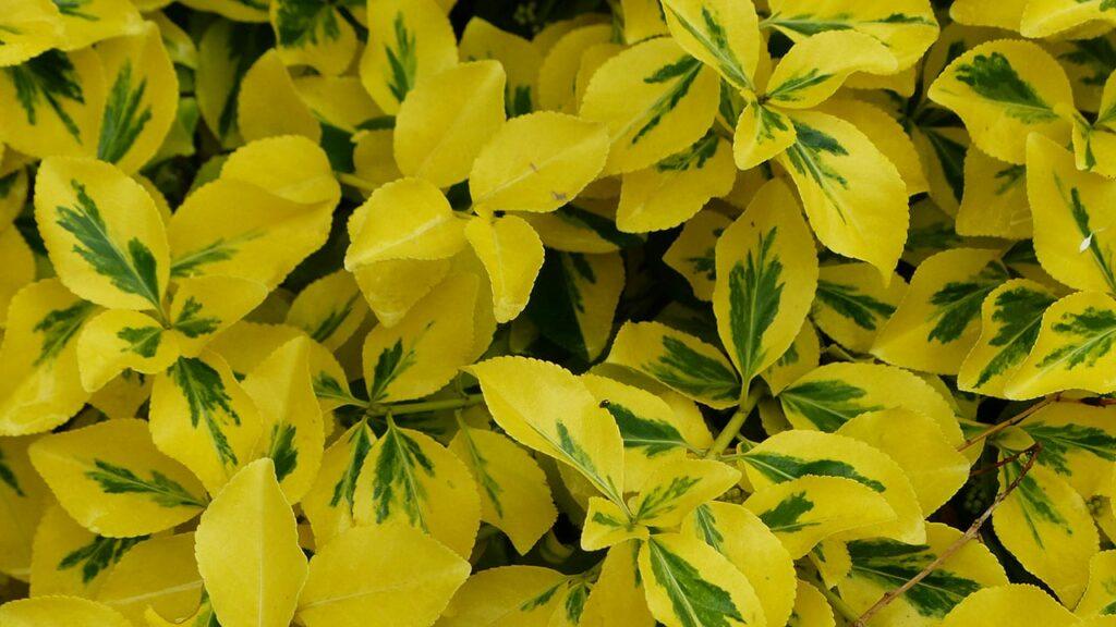 Ein wunderschöner und anspruchsloser Bodendecker: Kugelige Kapseln sind die Früchte der Kriechspindel, von weißlich-grüner bis rötlicher Färbung.