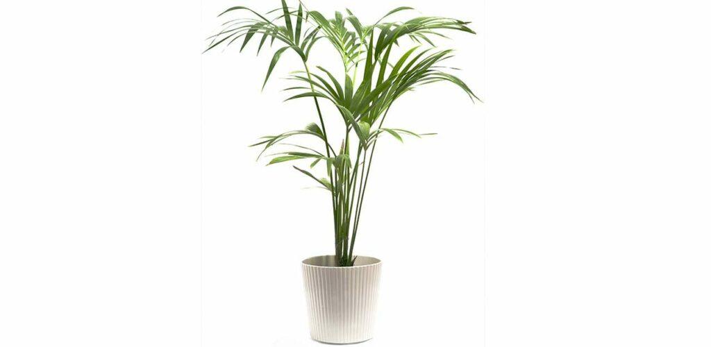 Die Kentia-Palme ist als Zimmerpflanze eine Bereicherung für Hobby- und Profigärtner