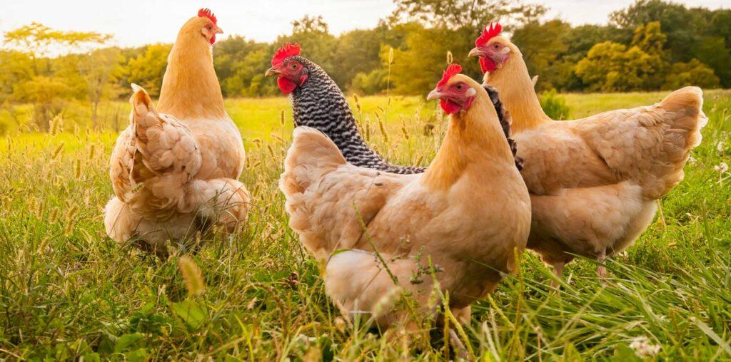 Kieselgur zur Behandlung von Hühnern