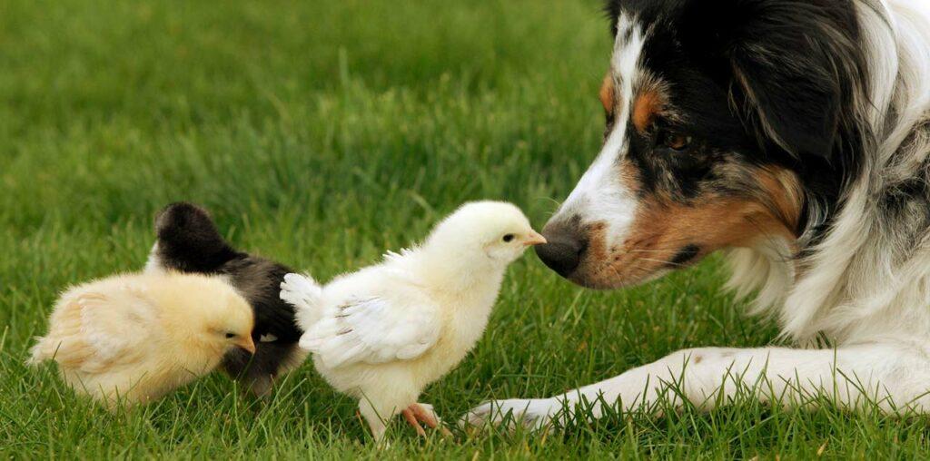 Hunde, Pferde und Hühner können mit Kieselgur behandelt werden