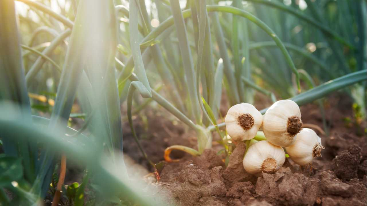 Knoblauch anbauen – Sorten, Vorbereitung, Pflanzung