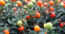 Mit der Tomate verwandt: Ein gut gepflegter Korallenstrauch trägt wunderschöne Früchte