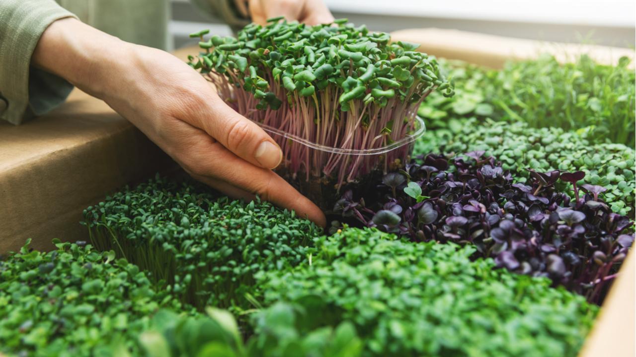 Mikrogrün züchten – So gelingt es Ihnen!