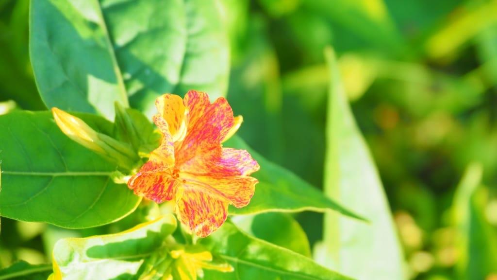 Die letzte Pflanze unserer Liste: Die Wunderblume zählt zu den pflegeleichten Pflanzen, die viel Sonne verträgt und nur wenig Wasser braucht.