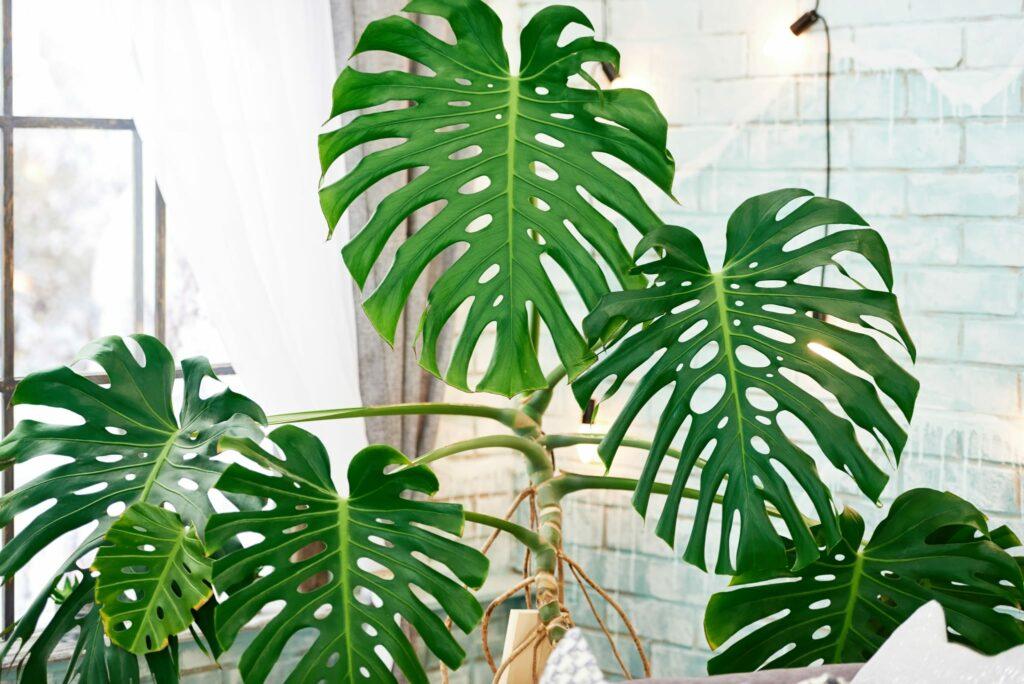 Tropen-Urlaub für zu Hause: Die Monstera hat riesige, leuchtend grüne und wunderschön gezeichnete Blätter