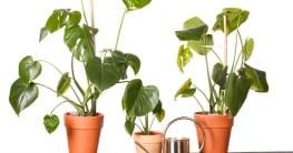 Eine Monstera Deliciosa kann durch Stecklinge, Ableger oder Abmossen vermehrt werden.