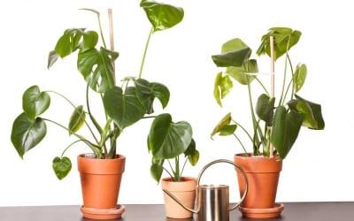 Monstera Ableger: Fensterblätter einfach vermehren
