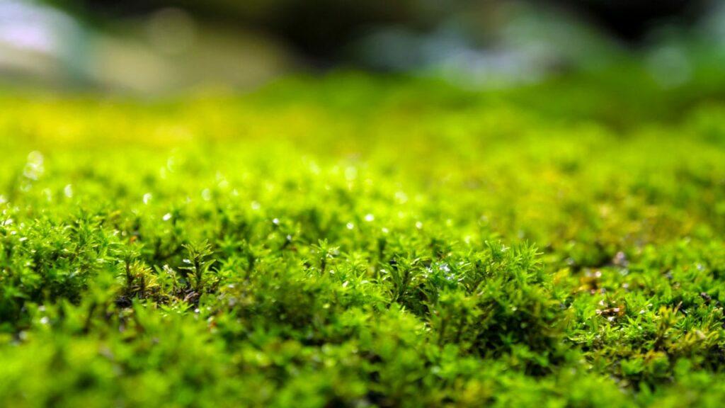 Moos Im Rasen So Wirst Du Das Unkraut Wieder Los