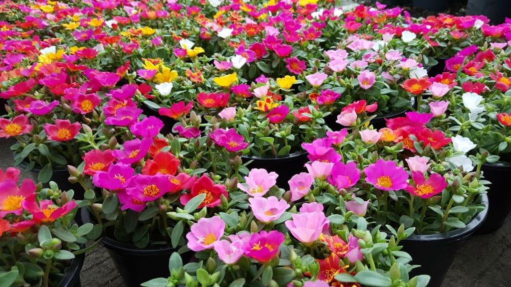 Portulakröschen blühen in der Hitze erst richtig auf. Sie gehört zu den schönsten der Pflanzen, die viel Sonne vertragen und wenig Wasser brauchen.