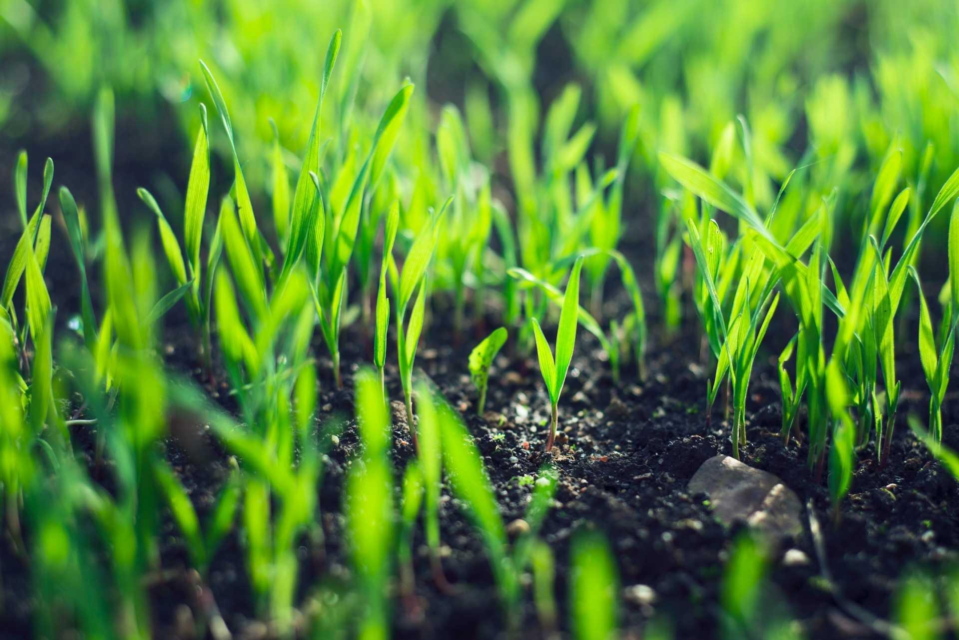 Wie lange braucht Rasen zum Keimen – Nach der Aussaat bis zu Keimung