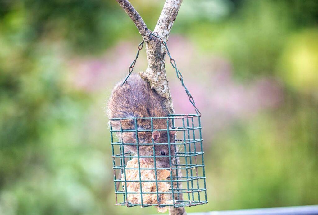 Ratte stiehlt Vogelfutter