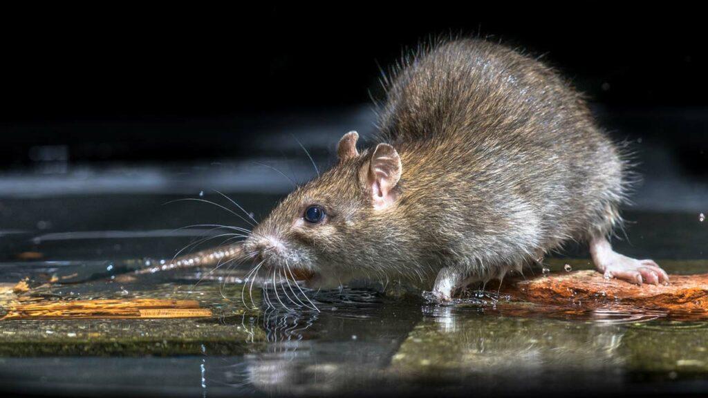 Geliebte Ratten im Garten erkennen und effektiv bekämpfen - Haus & Garten Profi @GF_49